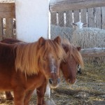 ponis enanos